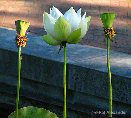 lotus-white-2pods-centered-5in1