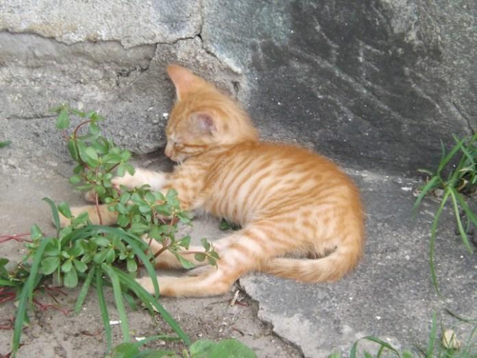 Amador kitten