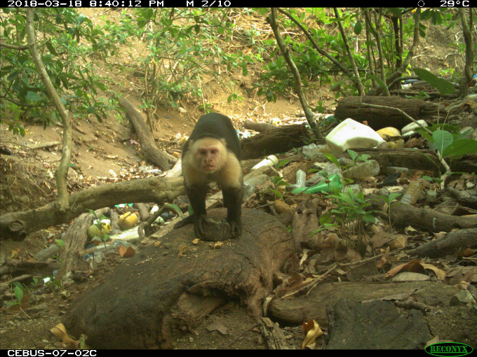 monkey grind