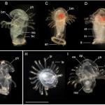 phoronids larvae Fig 1 lg