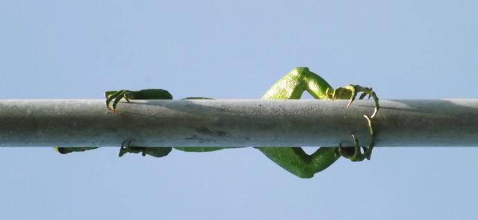 lizard action