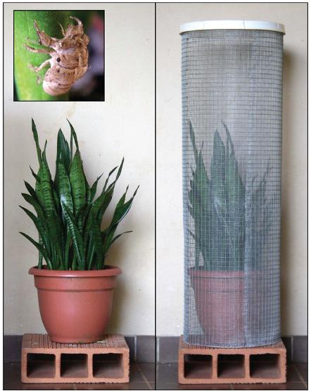 cicada trap1