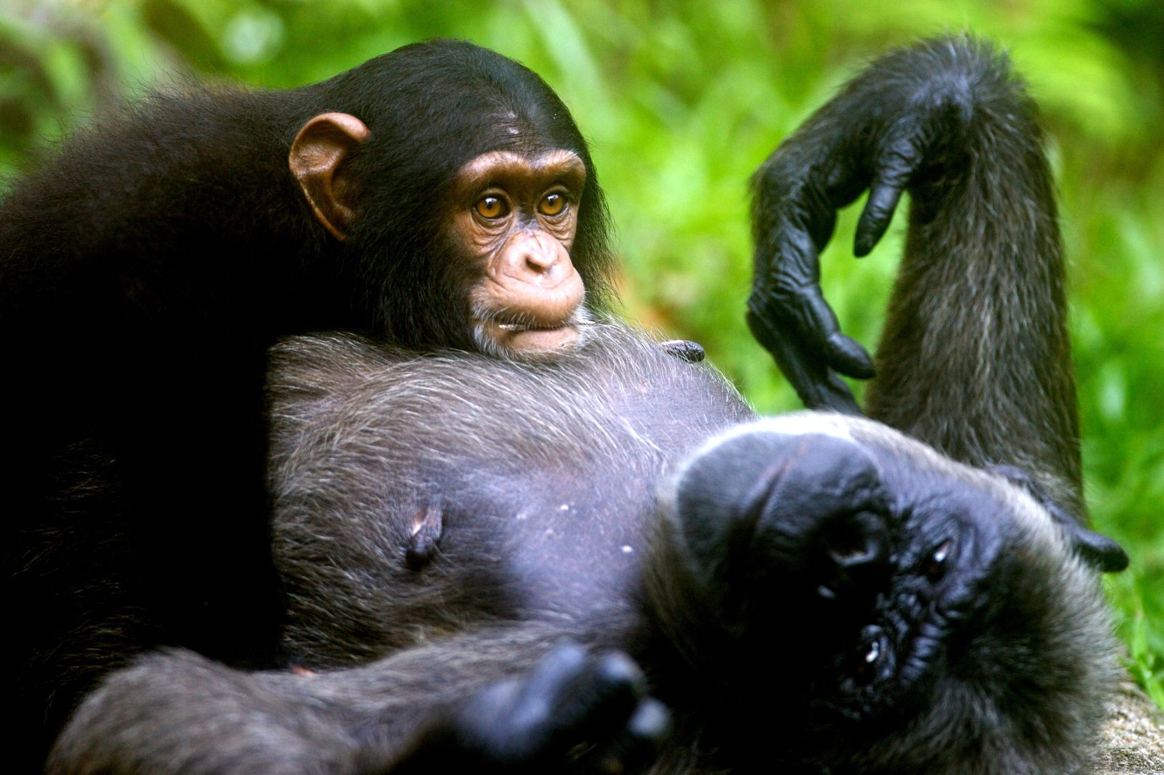 Chimpanzees, Parenting and Fun