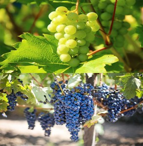 6 benefits to the body from eating grapes