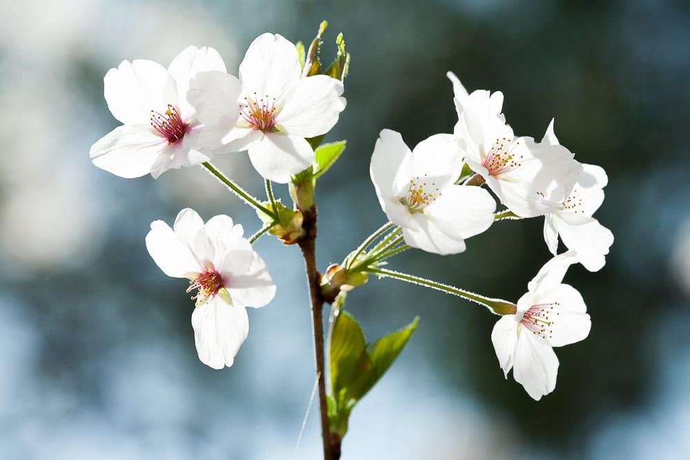 Cherry Blossom Wallpaper Hd Stunning Sakura Cherry Blossom Photos Around Japan The
