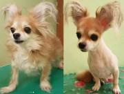 long-haired chihuahua haircuts