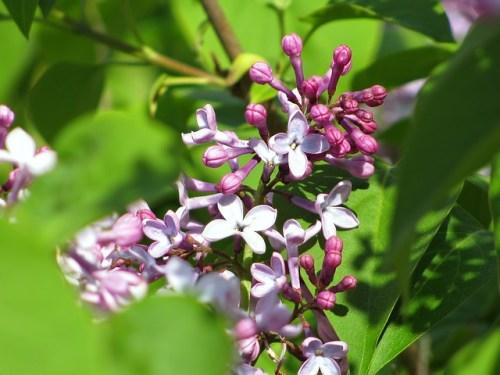 lilac-370682_640