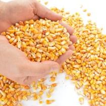thanksgiving-five-kernels-of-corn