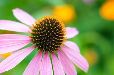 Is echinacea a one size fits all cold remedy