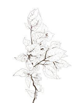 Pencil sketch of bougainvillea.