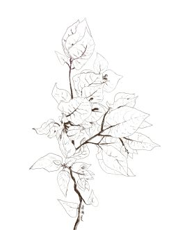 Pencil sketch of bougainvillea.