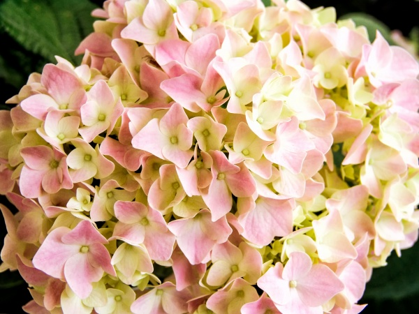Hydrangia Pink Lt-Edit