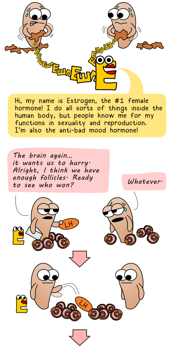 Estrogen appears and LH stimulates the ovaries even further