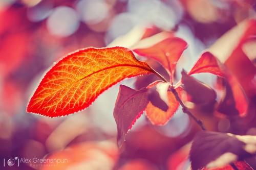 Sunstruck-leaf-900