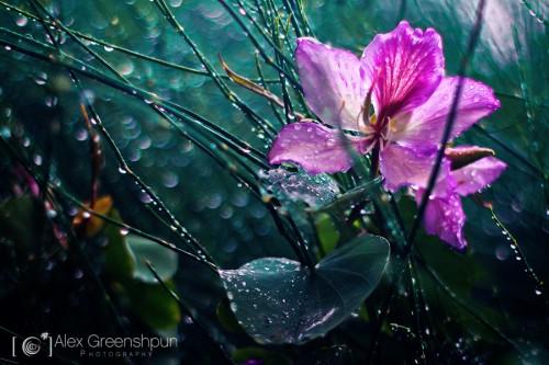 bauhinia-hiding-from-rain-900