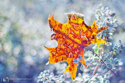 torn-fallen-angel-leaf-1-900
