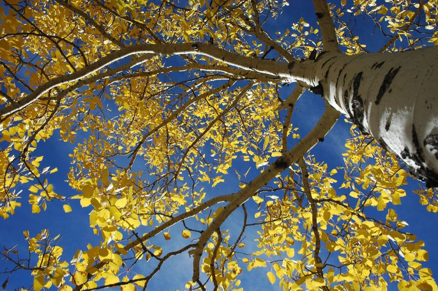 Fall Minimalist Wallpaper Aspen Leaf And Tree Photos