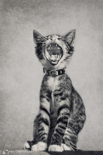 gatinho de bocejo