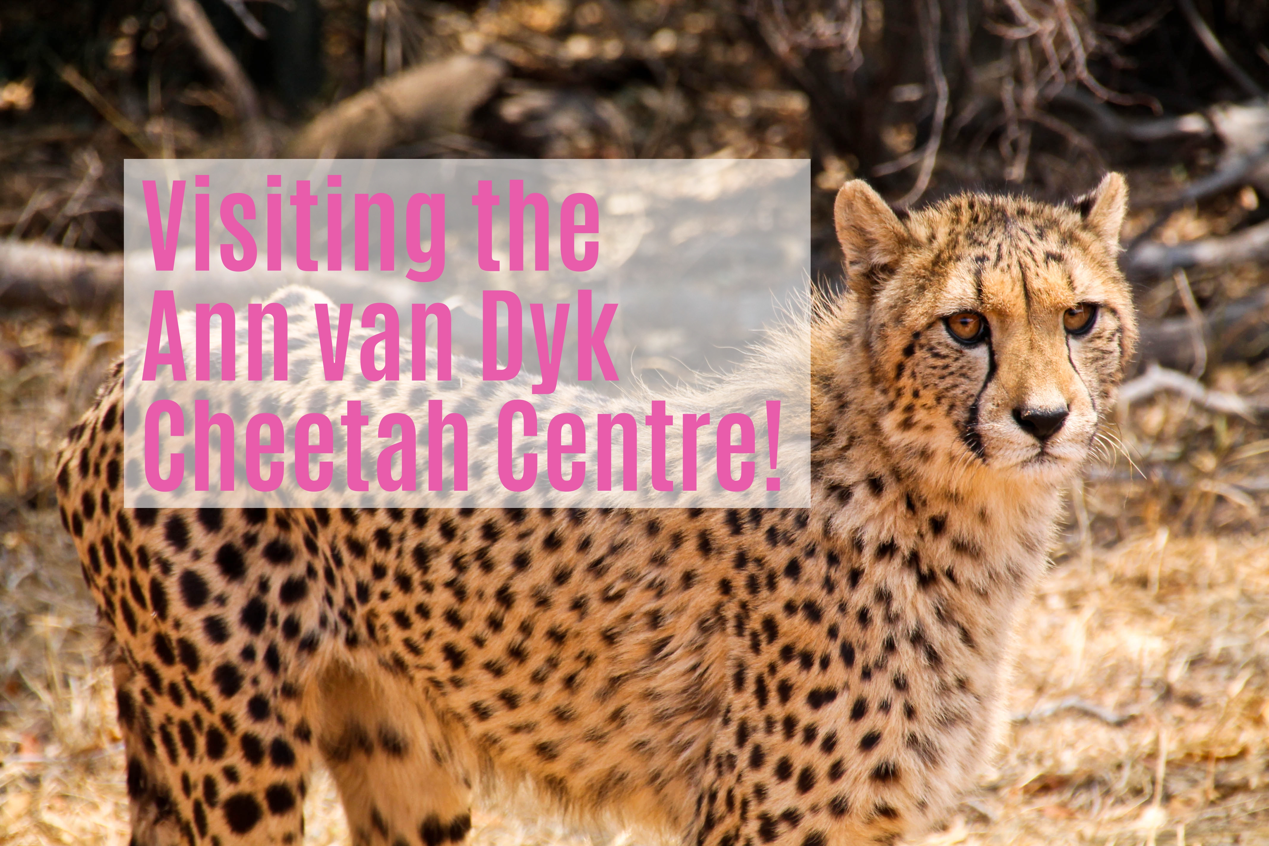 cheetah centre - travel south africa