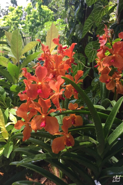National Orchid Garden Orange Orchid