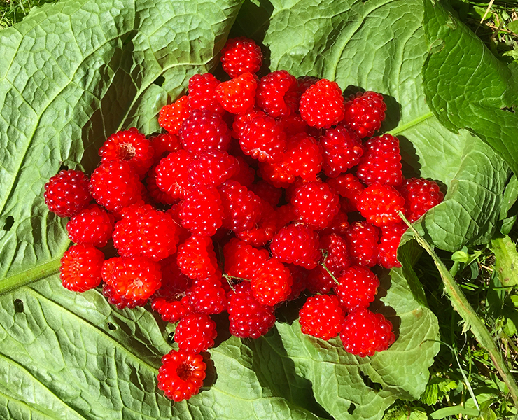red raspberries in the summer to eat as is or make into ice cream.