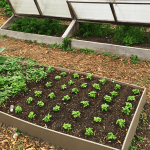 A raised bed simply made from four pieces of wood make for and easy way to manage your vegetables.