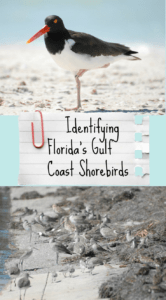 Birding on Florida's Gulf Coast- Learn how to identify many shorebirds, raptors, and songbirds that spend their winter on Florida's Gulf Coast!