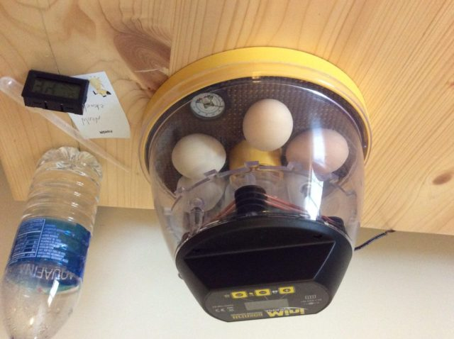 Incubating Part 3- Lockdown and Hatching: Leanr how to prepare for the last few days of incubation!