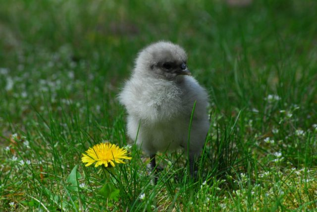 chick update weeks 1-3