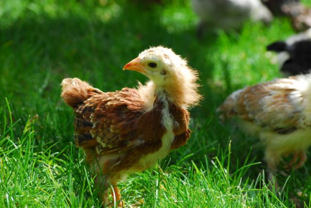 5 Fast Facts for Raising Chicks- Learn tips and facts on feeding, watering, and temperature for raising baby chicks!