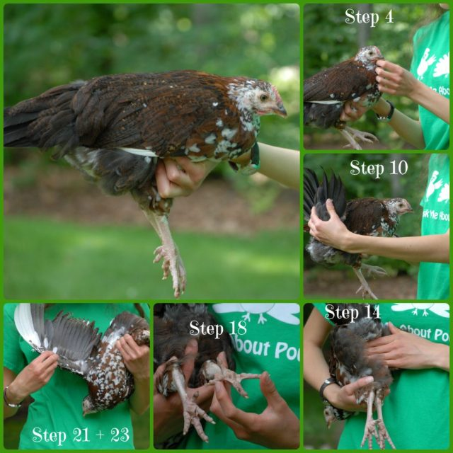 4-H Steps for Showing Chickens- Showing chickens in 4-H is a fun and educational experience! With diligence and practice it can be rewarding too!