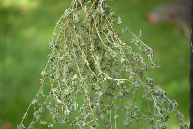 Harvesting Herbs- Learn how to harvest, dry, and store your own homegrown herbs!
