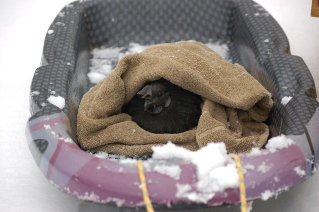 Winterizing the Chicken Coop- Learn how to prepare your coop for when the snowflakes fly to keep your flock happy!