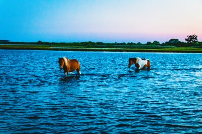 Horses crossing the bay at Assateague
