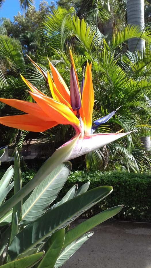 The photo is of an orange bird of Paradise flower