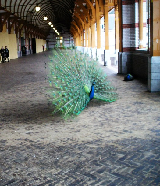 A peacock is showing off his feathers #Het Loo palace