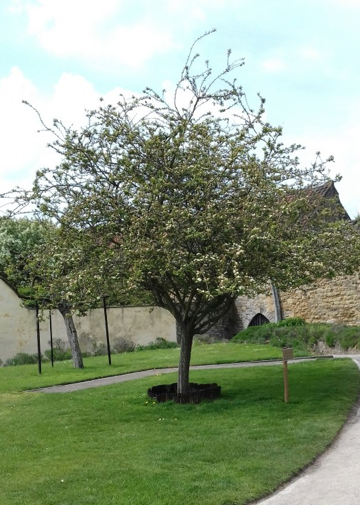 A blooming Hawthorne in the grounds of Glastonbury abbey said to be a descendent of the original Glastonbury thorn