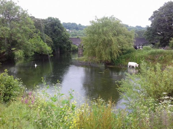 A cow in the river