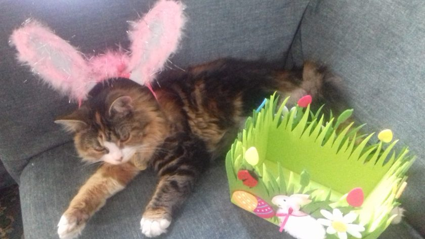 Heidi a maine coon in rabbit ears for Easter