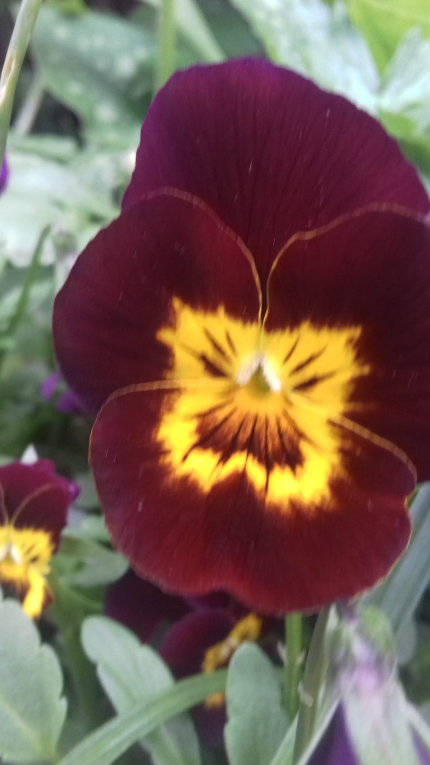 Brown and yellow pansy