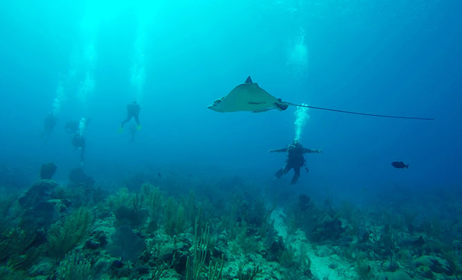 Tri-national Effort to Understand Spotted Eagle Rays