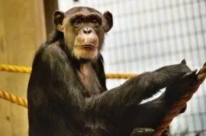 Groundbreaking Genetic Discoveries Challenge Ape to Human Evolutionary Theory