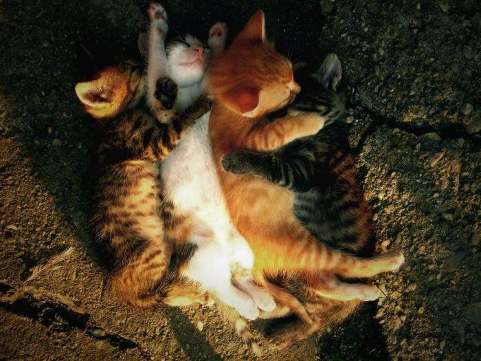 pisici-dormind