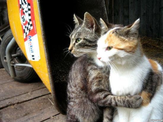 pisici-prietene