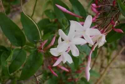 Cum protejezi planta de iasomie pe timpul iernii?