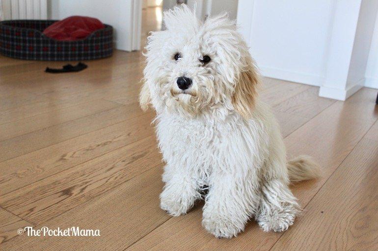 cucciolo di barboncino prima della toelettatura