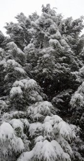 Giant Snow Covered Spruce