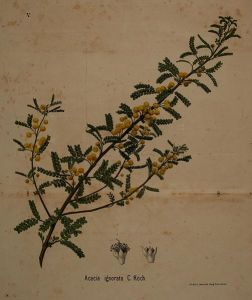 Image of goldenrod.