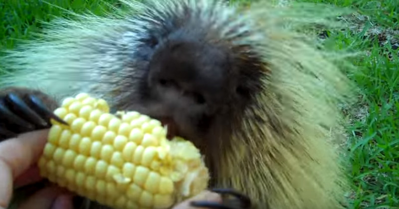 The delighted squeals made by this porcupine eating corn