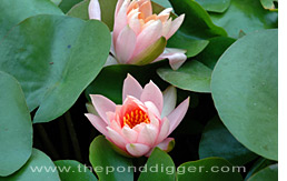 Hardy Water Lily picture